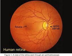 Structura interna a retinei